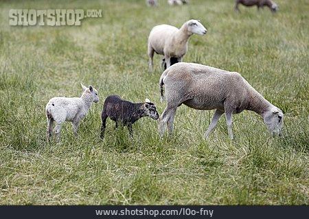 Sheep, Lamb, Family