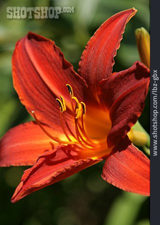 Lily, Fire Lily