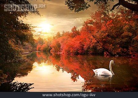 Nature, Autumn, River, Swan