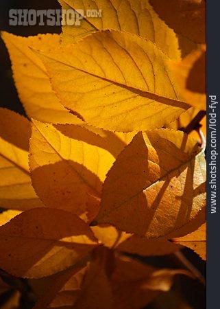 Leaf, Autumn Leaf, Sour Cherry, Tree Leaf