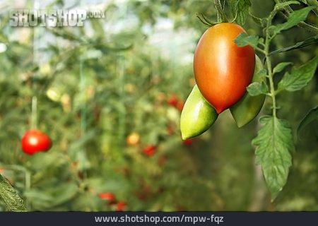 Tomato, Tomato, Tomato Plant