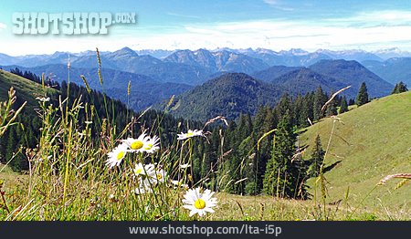 Flower Meadow, Marguerite, Alpine Foreland