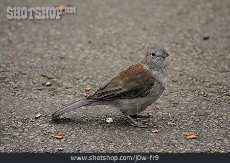 Bird, Grey Shrikethrush
