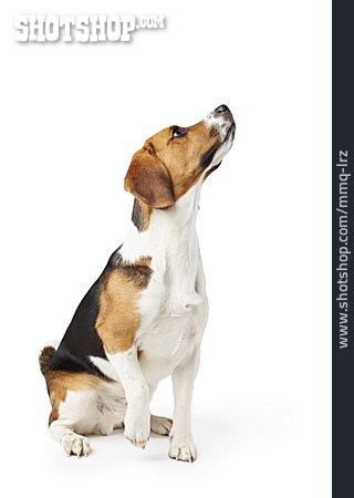 Purebred Dog, Beagle