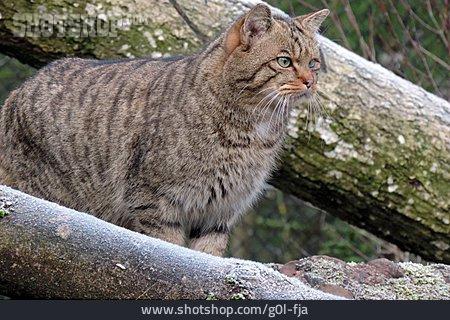 Wildcat, European Wildcat
