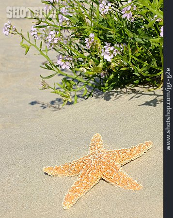 Sand, Starfish, Searockets