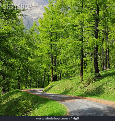 Forest, Path, Larch Forest