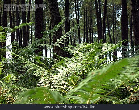 Forest, Fern