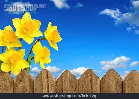 Easter Daffodils, Daffodils