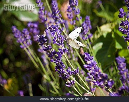 Lavender, Small White