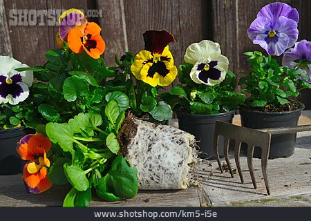 Pansy, Planting