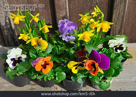 Spring Flowers, Pansy