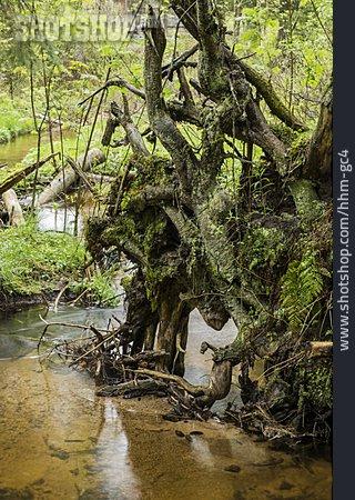 Root, Tree Root