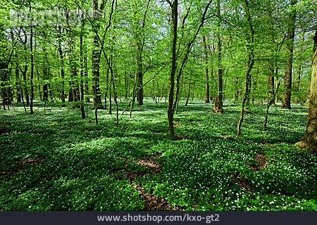 Forest, Windflower