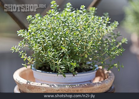 Thyme, Culinary Herbs
