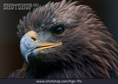 Young Animal, Bald Eagle, Bird Of Prey