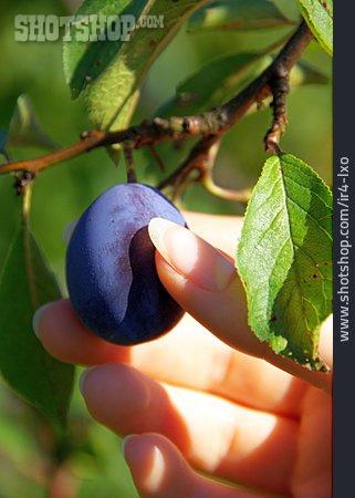 Plum, Pick, Plum Harvesting