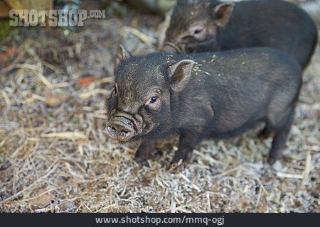Pork, Piglet