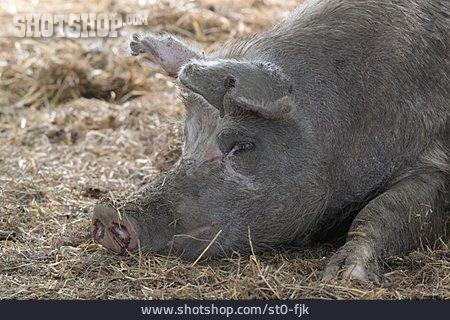 Domestic Pig, Animal Portrait