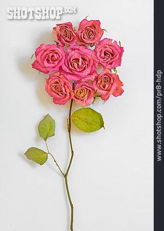 Rose, Arrangement