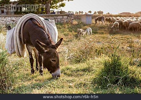 Pasture, Grazing, Donkey