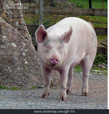 Pork, Domestic Pig, Sow