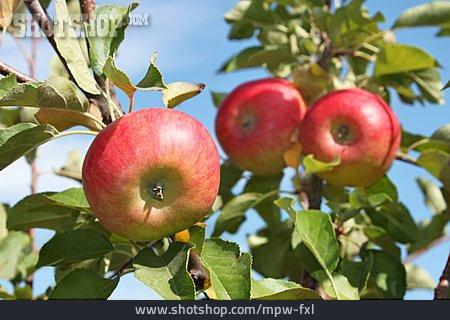 Apple, Fruit Tree