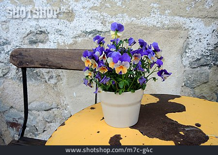 Pansy, Picturesque