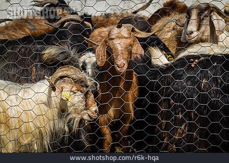 Goat, Imprisoned, Enclosure
