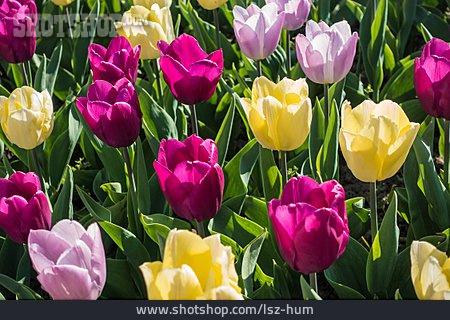 Tulip, Meadow