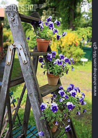 Pansy, Garden Season