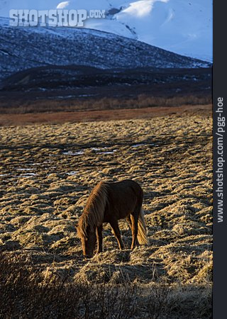 Iceland, Icelandic Horse