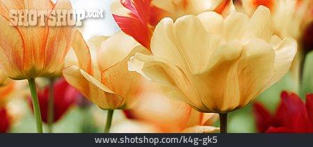 Spring Flower, Tulips