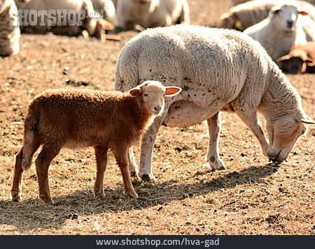 Sheep, Lamb