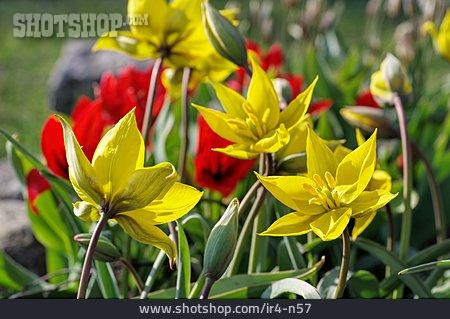 Wild Tulip, Tulip Blossom