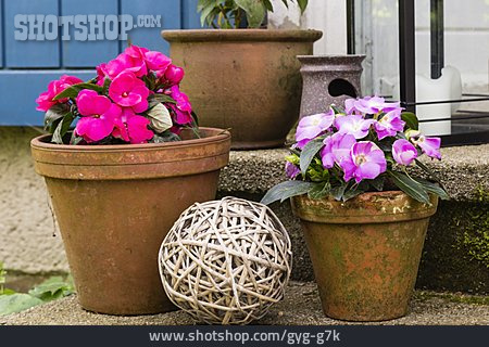Still Life, Flower Pot, Busy Lizzy