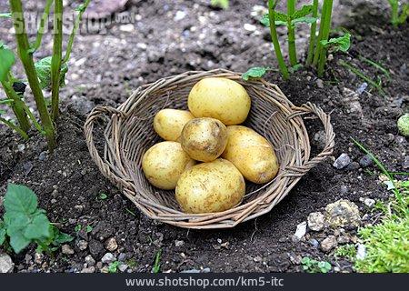 Potatoes, Potato Harvest, Potato Basket