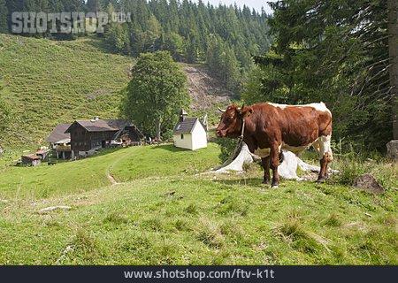 Cow, Pasture, Steiner Alm