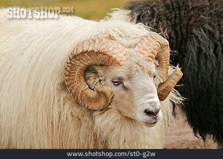 Ram, Short-tailed Sheep