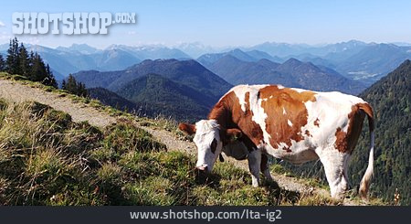 Cow, European Alps, Karwendel
