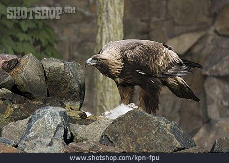 Eagle, Golden Eagle