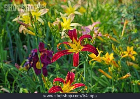 Day Lily, Flower Garden