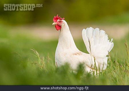 Hen, Barn Fowl