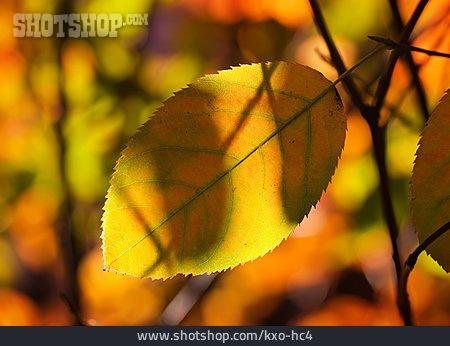 Autumn Leaf, Autumn Leaves