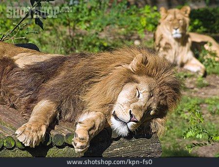 Mane, Lion