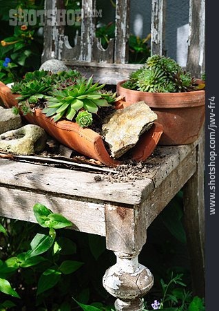 Houseleek, Sempervivum, Garden Decoration, Shabby Chic