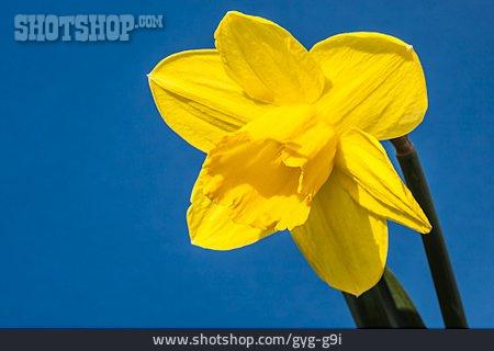 Blossom, Daffodil, Yellow Narcissus