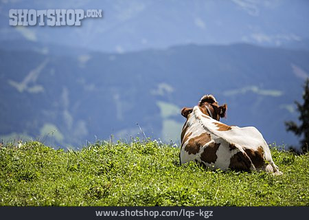 Cow, Pasture