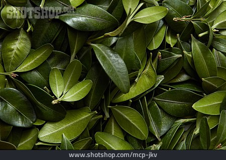 Bay Leaf, Bay Tree