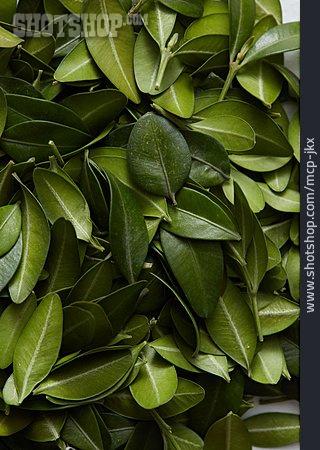 Bay Leaf, Bay Tree